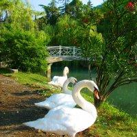 Лебеди на утреннем  построении :: Светлана Н