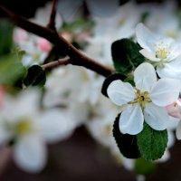 Яблоневый цвет :: Светлана Носкова