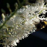 Пчела :: Андрей Гендин