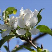 Яблоня в цвету :: Екатерина С.