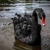 Чёрный лебедь :: Илья Сидоров