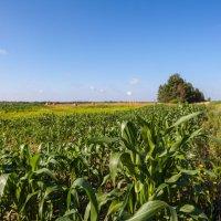 Пейзаж с кукурузой :: Олег Артамонов
