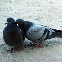 Любовь и голуби :: Елена Готовская