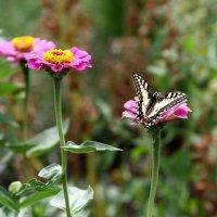 бабочка на цветах 2 :: Павел Бахарев