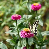 бабочка на цветах 3 :: Павел Бахарев