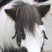А пони - тоже кони :: елена цыганова