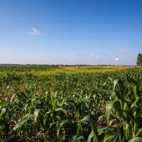 Кукуруза :: Олег Артамонов