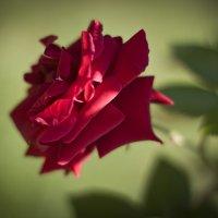 Красная роза :: Людмила Белая