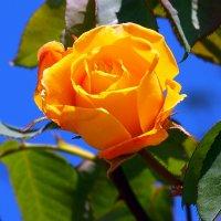 Желтая роза :: Lena Li