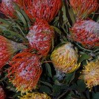 Леукоспермум или цветок Корона. :: Ольга
