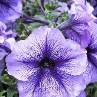 Фиолетовый цветок :: Алёна Бакерина