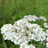 Белые цветы :: Алёна Бакерина