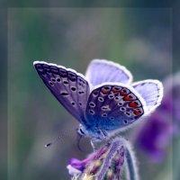 Polyommatus icarus — Голубянка Икар :: Ольга Головчанская