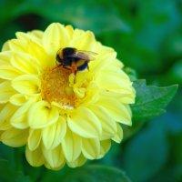 Сбор нектара. :: Геннадий Оробей