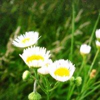 полевые цветы :: Катя Кузьменко