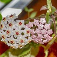 цветет восковый плющ :: Николай Ковтун