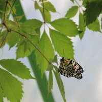 Бабочка :: Ольга Давыдова