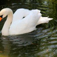Лебедь. Николаевский зоопарк :: Ольга Давыдова