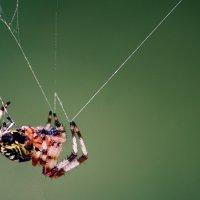 паук :: Сергей Ли