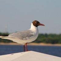 чайка :: Лидия Юсупова
