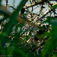 Водяная курица, на гнезде :: Виктор Лавриченко