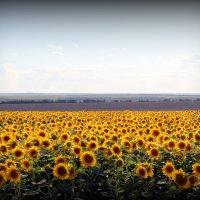 Солнечное поле :: Кристина Волошина