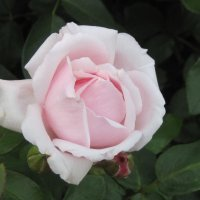 Роза :: Маера Урусова