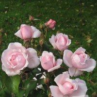 Розовый куст :: Маера Урусова