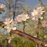 Когда яблони в цвету.... :: Олеся Бе бе