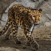 Дальневосточный леопард :: Nn semonov_nn