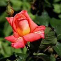 роза :: valeriy g_g