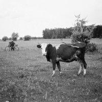 Корова и пастух :: Алексей Галушко