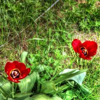 Тюльпаны. :: pavel b