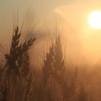 Солнечный колос :: Влад Ложкин
