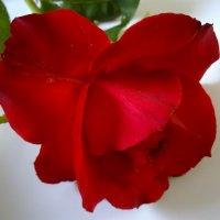 Бархатная роза :: Анна *
