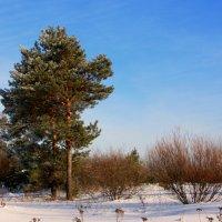 Сосны замерли в снегу... :: Нэля Лысенко