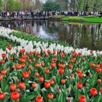 Койкенхоф  Парк тюльпанов :: igor G.