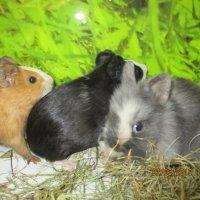 Кролик и морские свинки,друзья. :: Зинаида