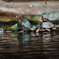 Черепахи. :: sav-al-v Савченко