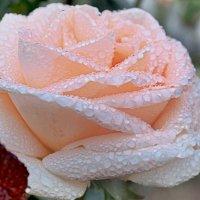 Слёзы роз. :: Kondratij