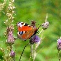Бабочки и колючки :: Татьяна Лобанова