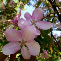 Розовая яблонька :: Татьяна Лобанова