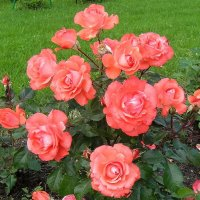 Розы расцветают, сердце, отдохни... :: Ольга Довженко