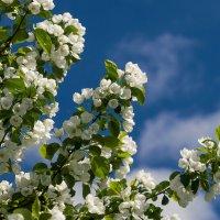 Яблоня ягодная в цвету... :: Николай Зиновьев