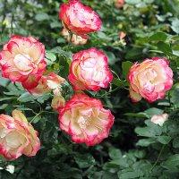 какие были розы :: Олег Лукьянов