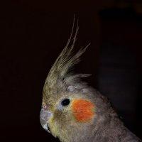 Оранжево-щекая :: MaxForever