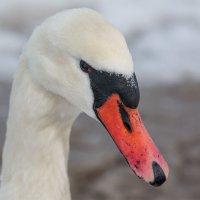 Лебедь-шипун. :: Геннадий Порохов