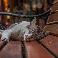 Тайская кошка :: SmygliankA