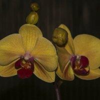 Орхидеи :: Nikolai Martens