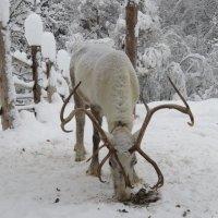 Мендсары оленья ферма :: Галина
